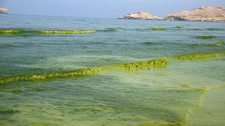 A bloom of Noctiluca scintillans turns water into green slush off the coast of Oman. (Courtesy K. Al-Hashmi)
