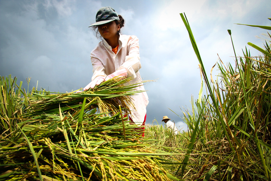 A farmer harvests rice at a field in Laguna, Philippines. (Courtesy International Rice Research Institute)