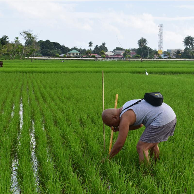 Ritche Nuevo measures a rice plant at a field in Argao, Philippines. (Courtesy R. U. Nuevo)